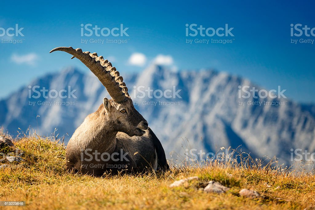 Alpine Ibex in front of Mount Watzmann -  Nationalpark Berchtesgaden – Foto