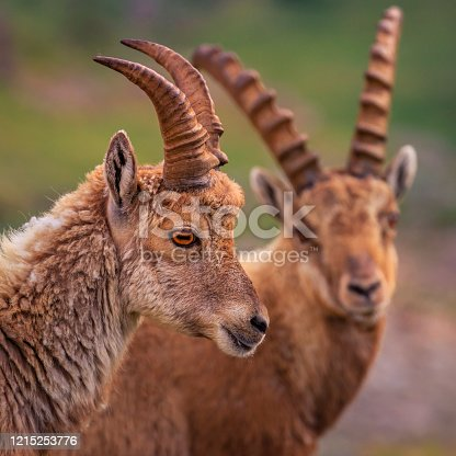 Alpine Ibex in dramatic italian alps landscape – Gran Paradiso, Italy