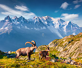 Alpine Ibex (Capra Ibex) on the Mont Blanc (Monte Bianco) background. Colorful summer morning in the Vallon de Berard Nature Preserve, Graian Alps, France, Europe.