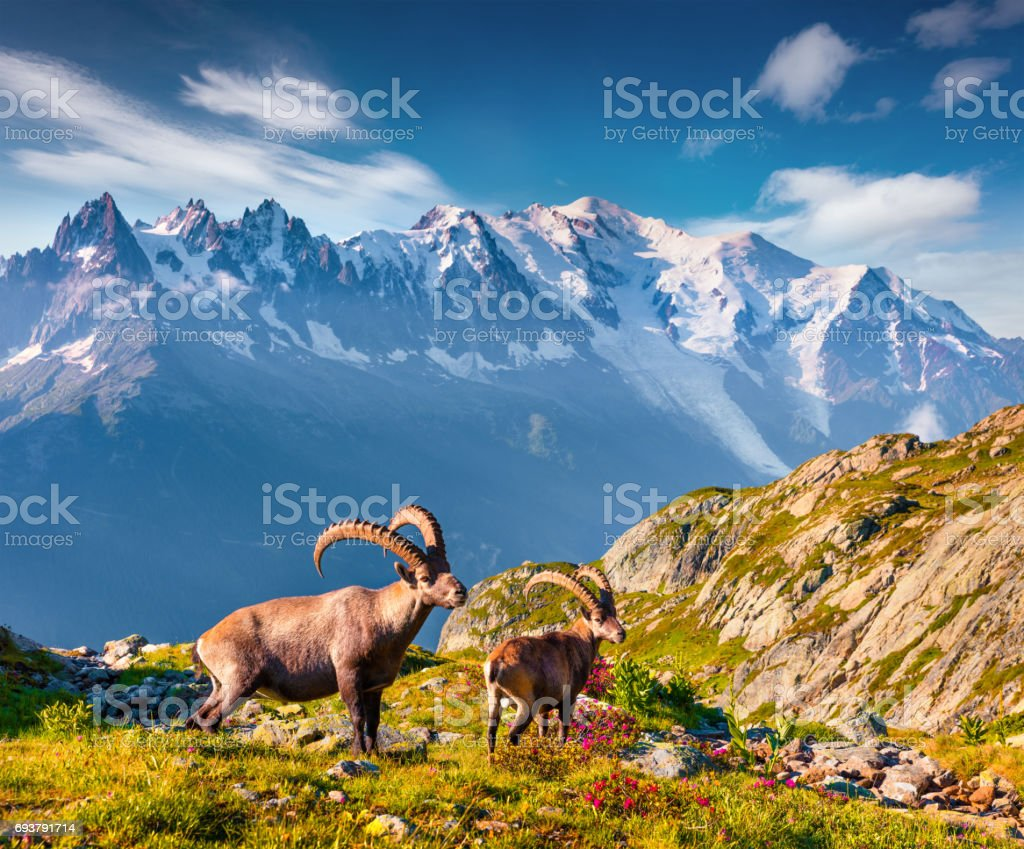 Alpensteinbock (Capra Ibex) auf dem Mont Blanc (Monte Bianco) Hintergrund. – Foto