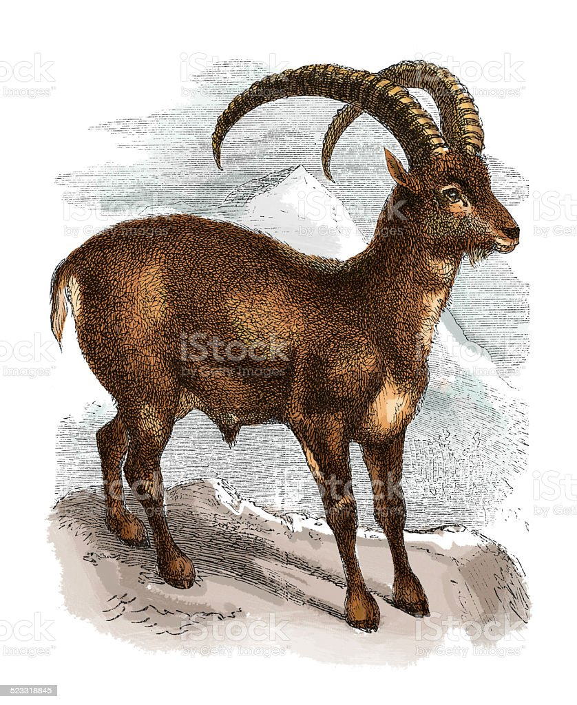 Alpine ibex (antique engraving) vector art illustration