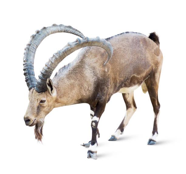 alpine ibex  - steinbock mann stock-fotos und bilder