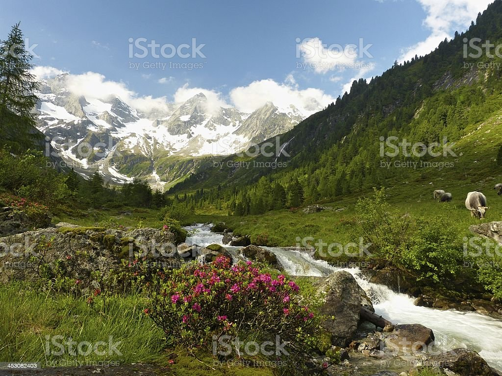 Alpine idyll with cows and glaciers in the background stock photo