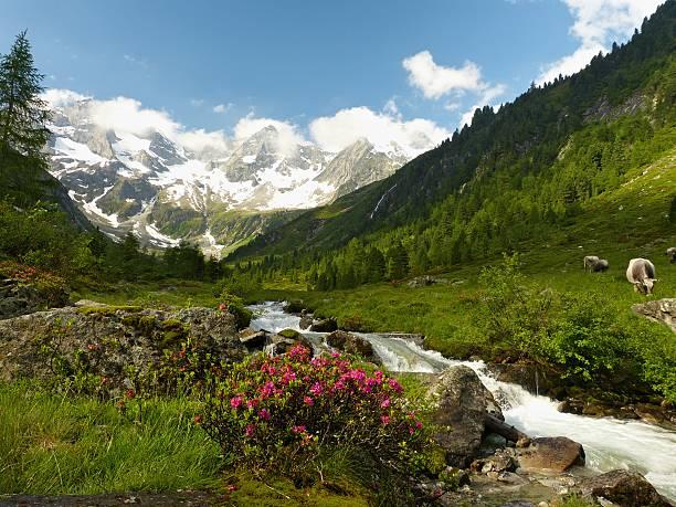 Alpine Idylle mit Kühe und Gletscher in den Hintergrund. – Foto
