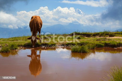 Alpine lake with drinking cow under snowy Alps.