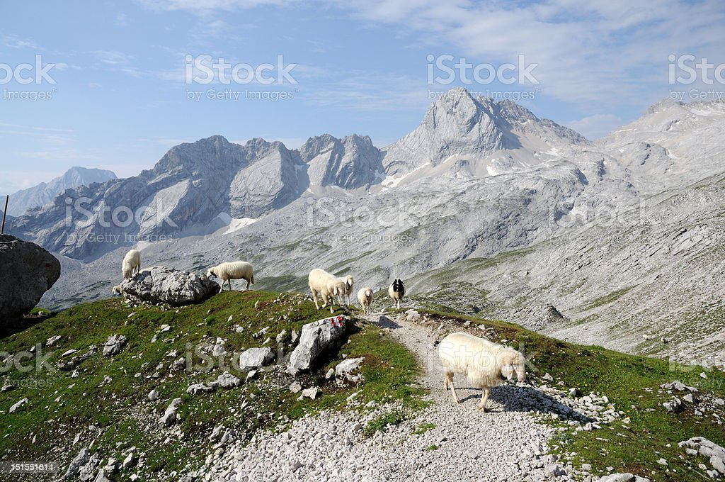 Alpine landscape with grazing sheep royalty-free stock photo