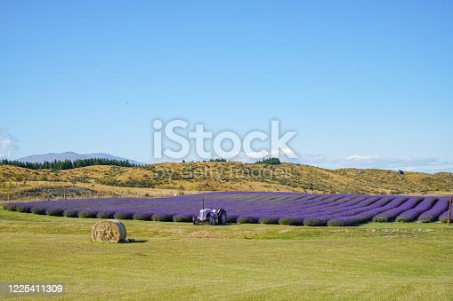 NZ Alpine Lavender Farm at Twizel, Mount Cook Road (State Highway 80) and Lake Pukaki, South Island, New Zealand.