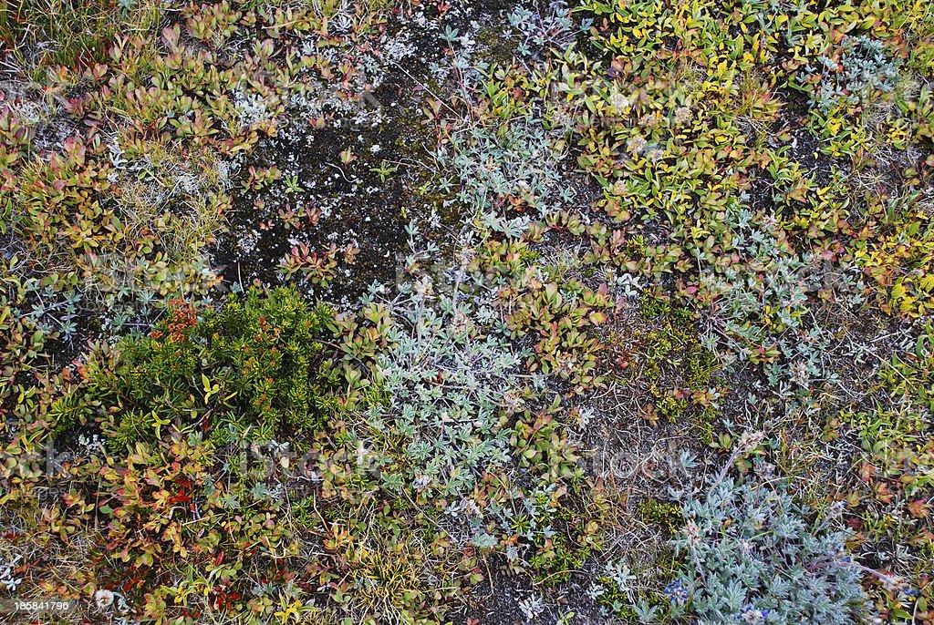 Alpine Lichen royalty-free stock photo