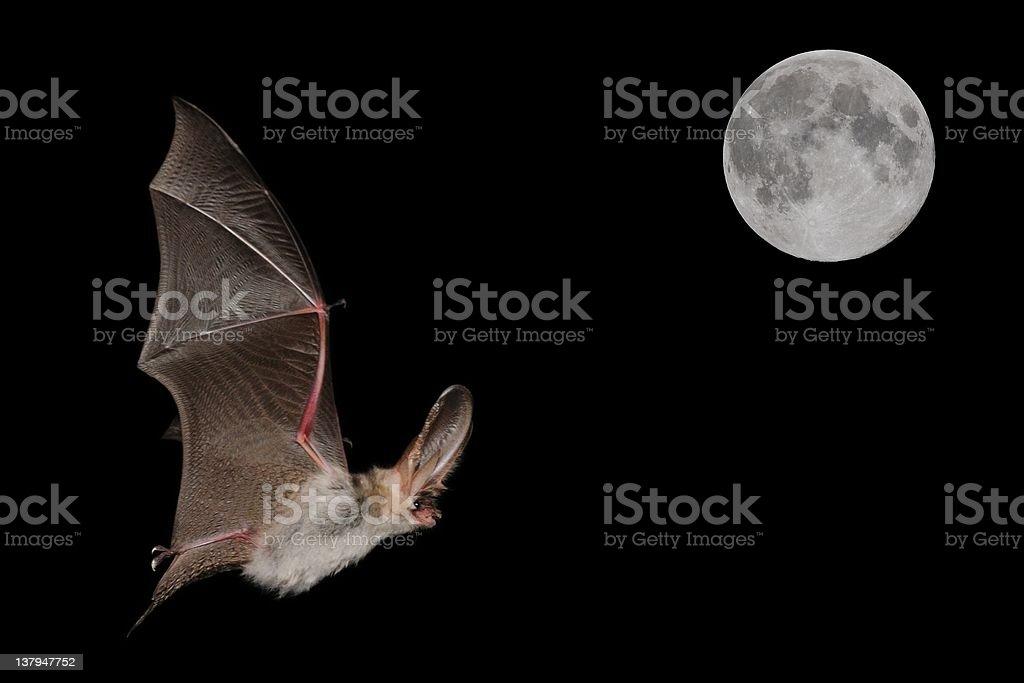 Alpine Long-eared Bat (Plecotus macrobullaris) in flight and full moon stock photo
