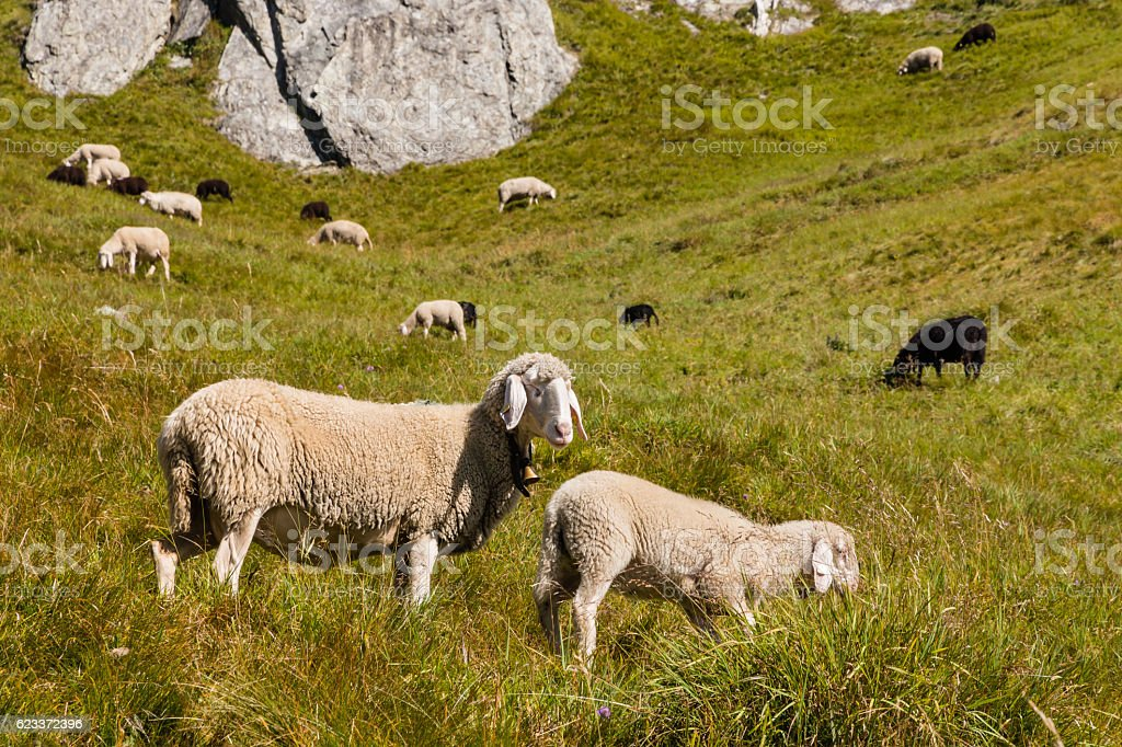alpine lop eared sheep and lamb grazing on meadow stock photo