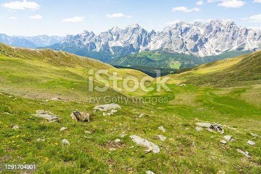 istock Alpine Marmot in the Austrian Alps 1291704901
