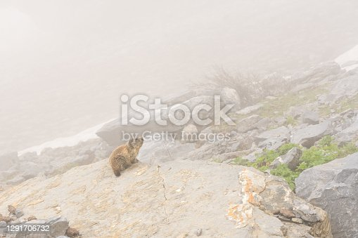 istock Alpine Marmot in the Austrian Alps 1291706732