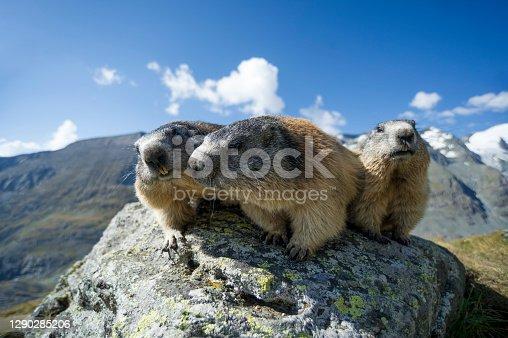 istock Alpine marmot on the Grossglockner, Austria 1290285206