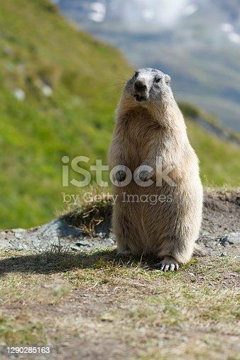 istock Alpine marmot (Marmota marmota) 1290285163