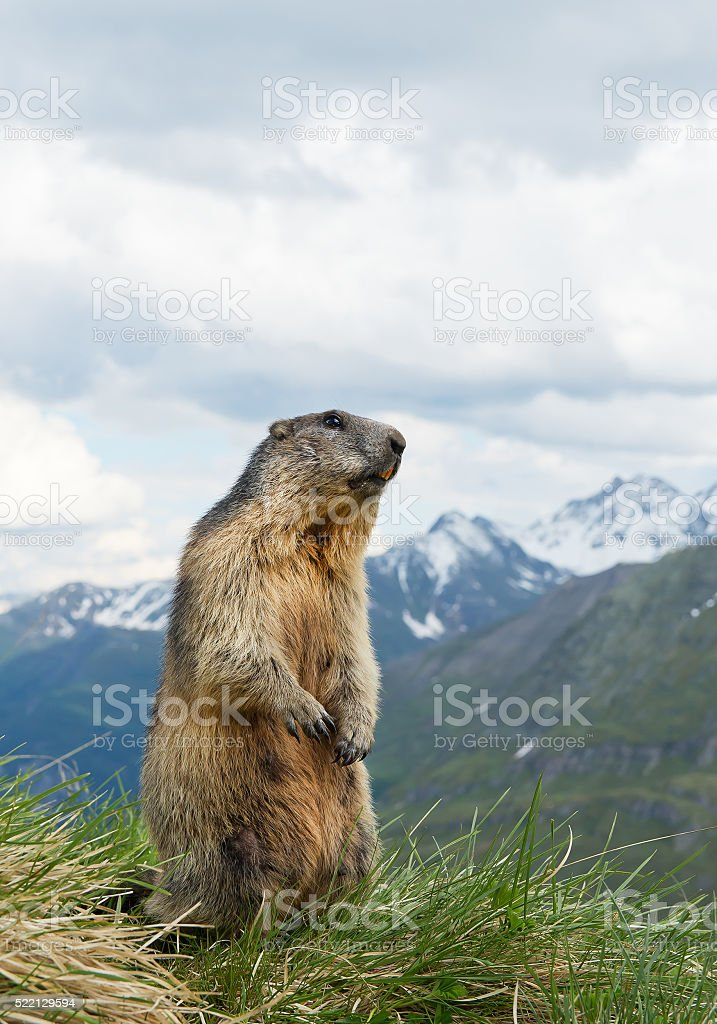 Alpine marmot standingin the grass stock photo