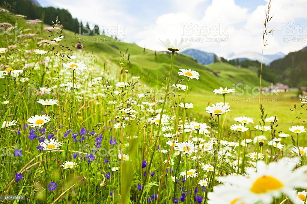 Alpine meadow blooming stock photo