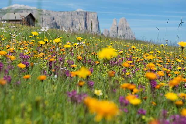bergwiese in südtirol seiser alm - seiser alm stock-fotos und bilder