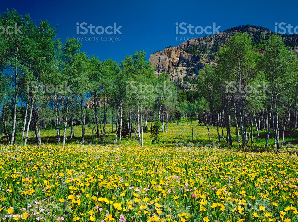 Alpine Meadow In Wyoming royalty-free stock photo