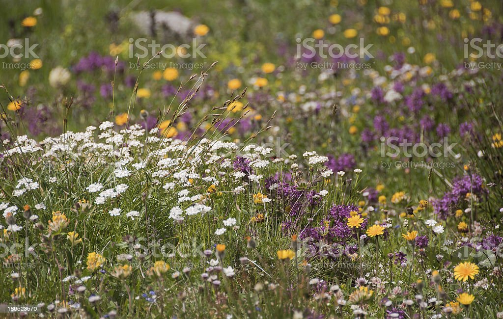 Alpine Meadow royalty-free stock photo