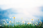 Spring meadow with golden daisies. Copy space.