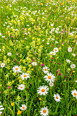Alpine meadow with daisies and other wild flowers. Bright colours. Close-up view.