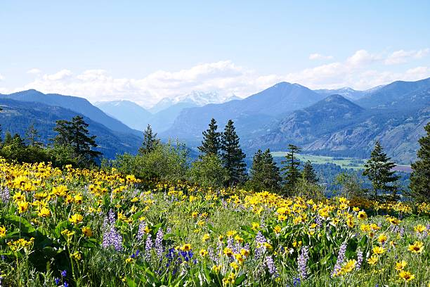 Alpine Meadows Filled with Wild Flowers and Snowcapped Mountains. stock photo