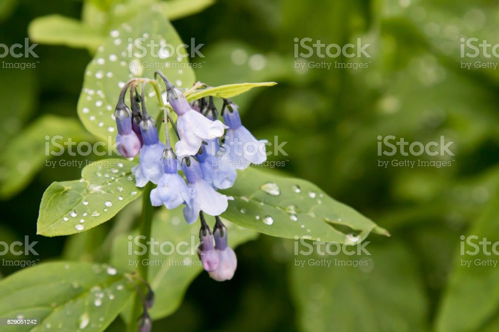 Alpine Mertensia wildflower with wet leaves stock photo