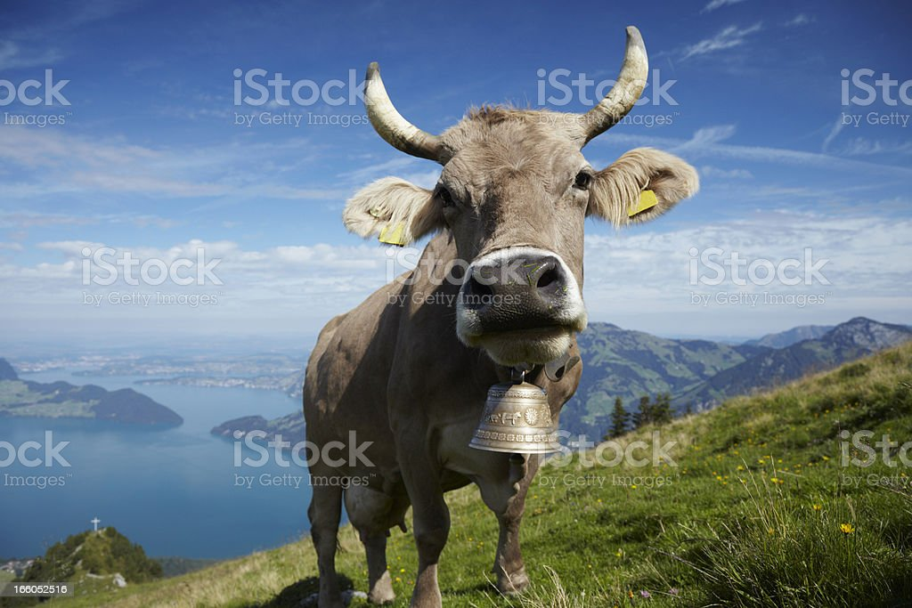 Alpine Milk Cow stock photo