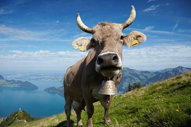 Alpine Milk Cow stock photo