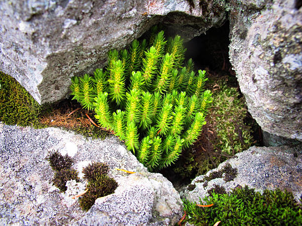"""Alpine Mosses Existing Under a Rock, Macro """"Under a rock, high up on the edge of the alpine zone on Mt. Adams -- one of the Presidentials in the White Mountains of New Hampshire -- lives this little group of mossy plants. A spartan, lonely, and rugged existence at best, but they seem happy and certainly are pretty."""" mike cherim stock pictures, royalty-free photos & images"""