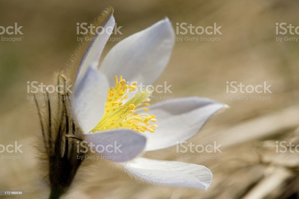alpine pasqueflower royalty-free stock photo