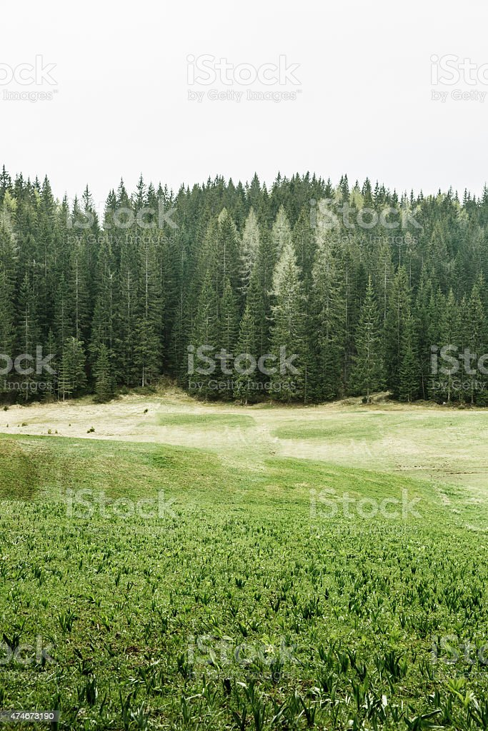 Alpine pasture and healthy forest of coniferous trees stock photo