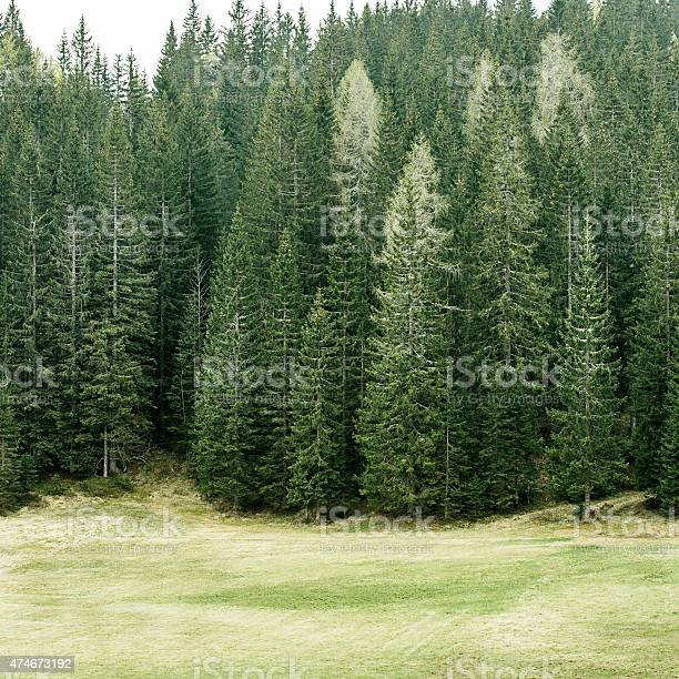 Photo of Alpine pasture and healthy forest of coniferous trees