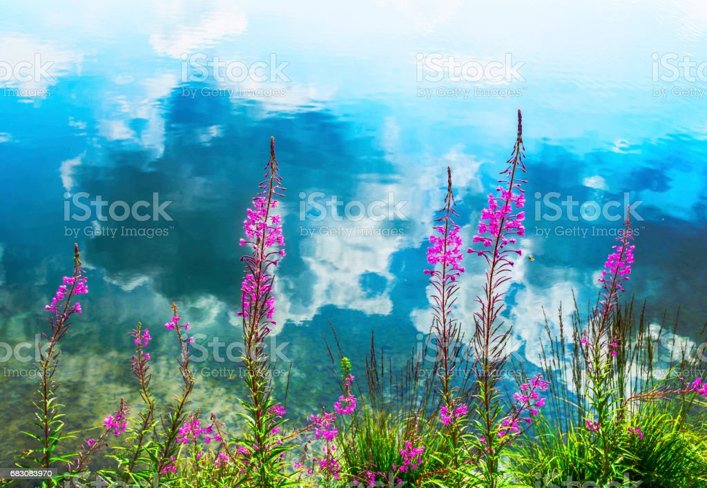Alpine pink flowers and reflection of clouds in the water foto de stock royalty-free