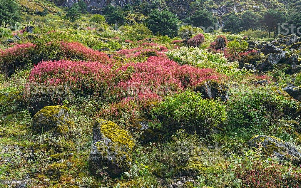 Alpine plants in bloom, Arunachal Pradesh, India. stock photo