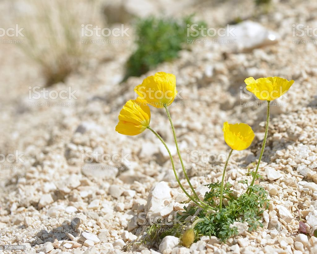 Alpine poppy, papaver alpinum stock photo