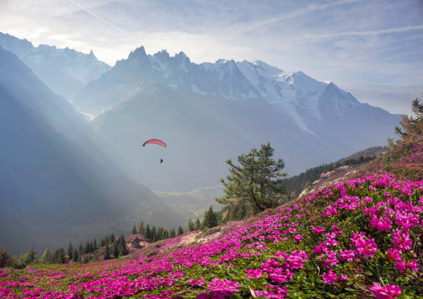 Alpine rhododendrons on the mountain fields of Chamonix stock photo