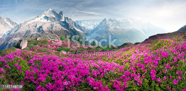 istock Alpine rhododendrons on the mountain fields of Chamonix 1141749716