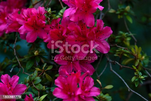 istock Alpine rose flowering plant with crimson red flowers closeup 1300881779