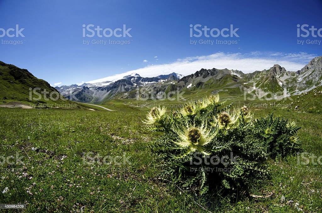 Alpine Sea Holly stock photo