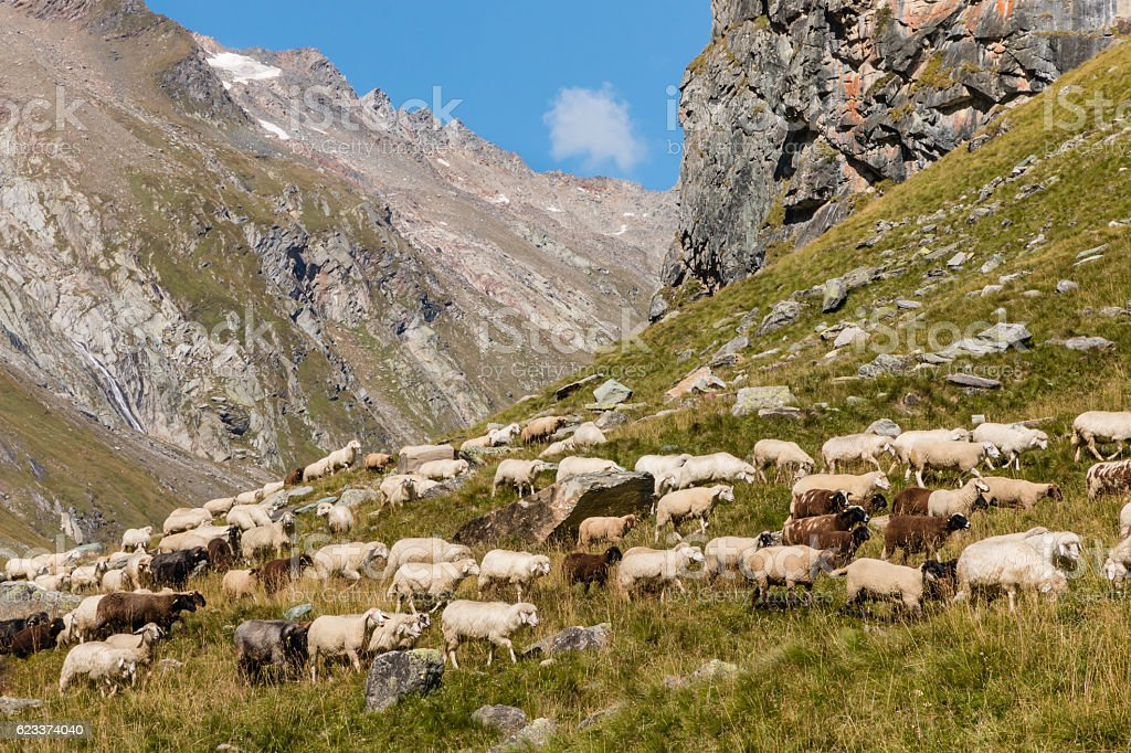 alpine sheep grazing on steep  slope in Austrian Alps stock photo