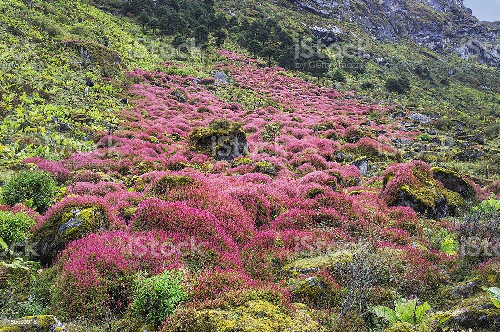 Alpine shrubs in flower, Arunachal Pradesh, India. stock photo