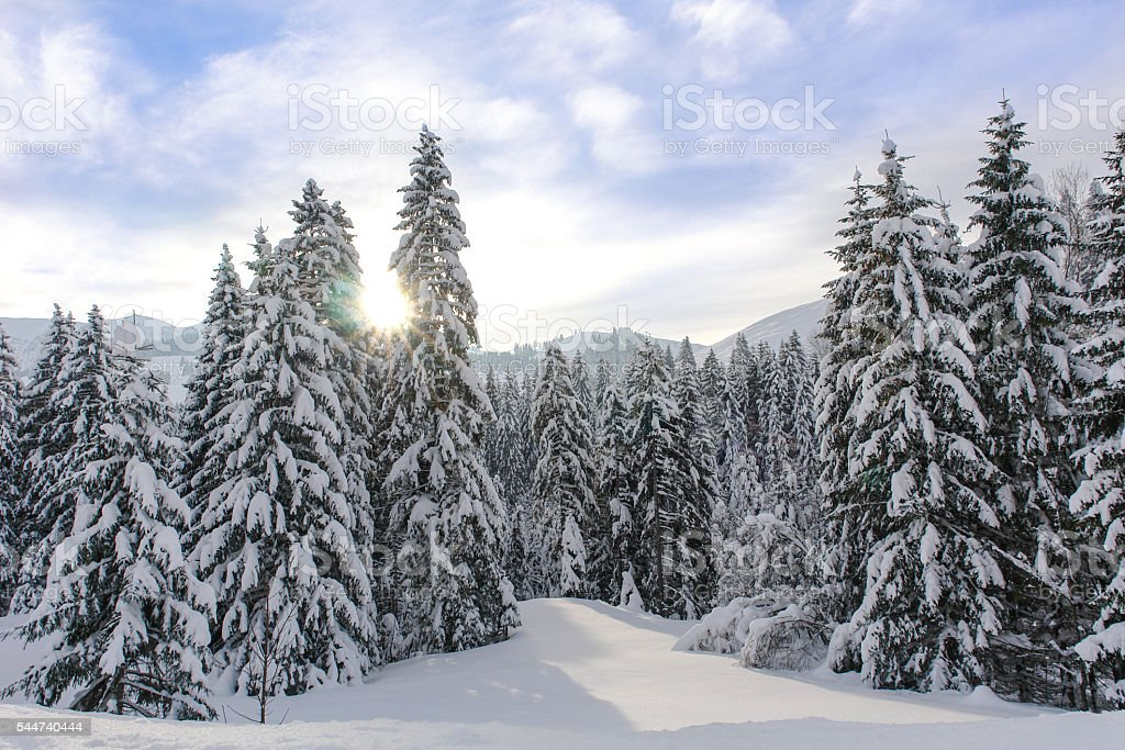 Alpine Spruce Forest in a Sunny Meadow stock photo