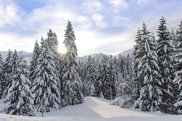 alpine spruce forest in a sunny meadow - snötäckt bildbanksfoton och bilder