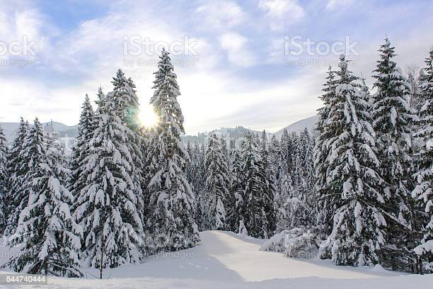 Photo of Alpine Spruce Forest in a Sunny Meadow