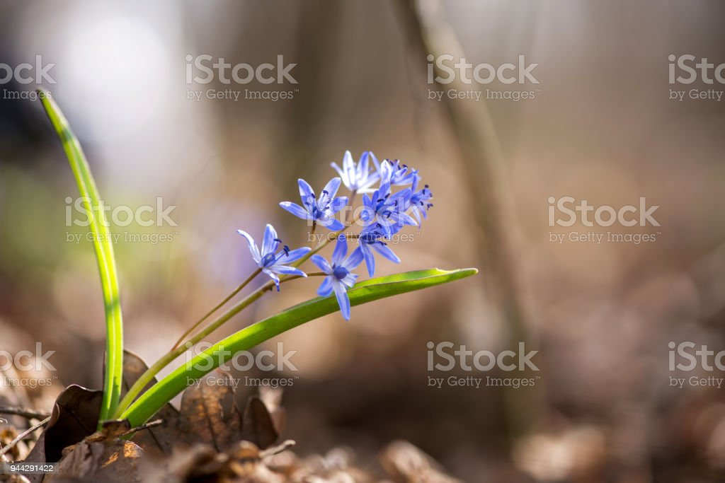 Alpine squill or two-leaf squill, Scilla bifolia - selective focus, copy space stock photo