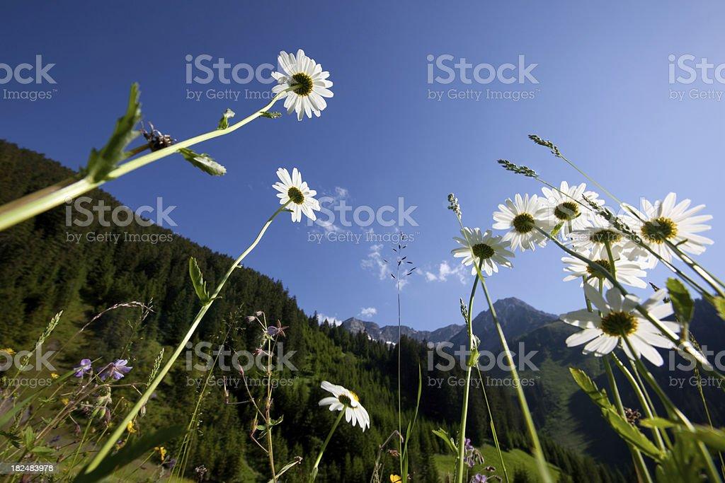 alpine summer meadow in tiorl - austria royalty-free stock photo