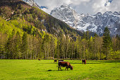 Alpine valley, Logarska Dolina, Slovenia. Cows at green grass glade. Birch trees, pines on steep hill slopes. Alps with snow in background
