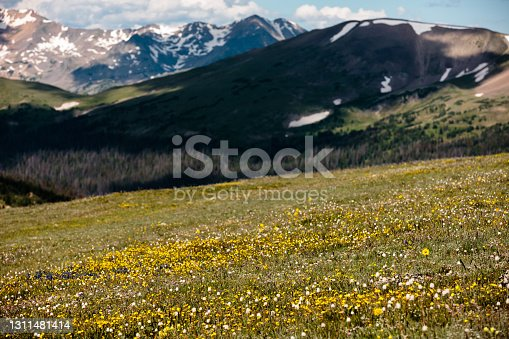Against the distant mountains, the lone wildflower stands out against the rest of the alpine tundra wildflowers within Rocky Mountain National Park, Colorado in late-July