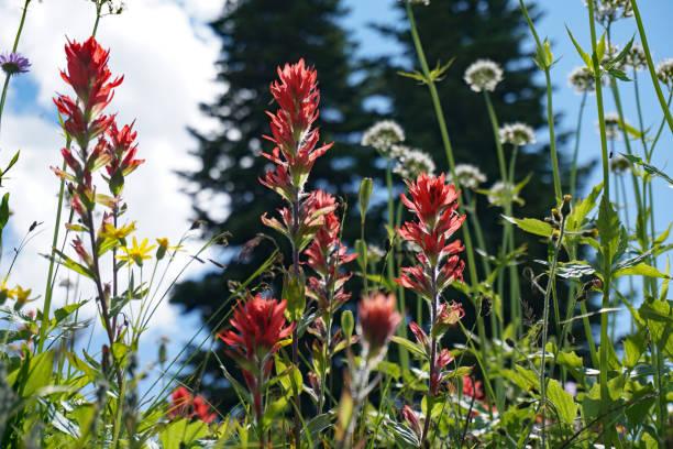 Alpine Wildflowers stock photo